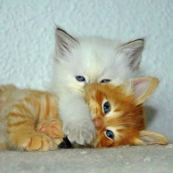 Two Blue Eyed Kittens