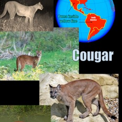 Cougar Cat Facts For Kids