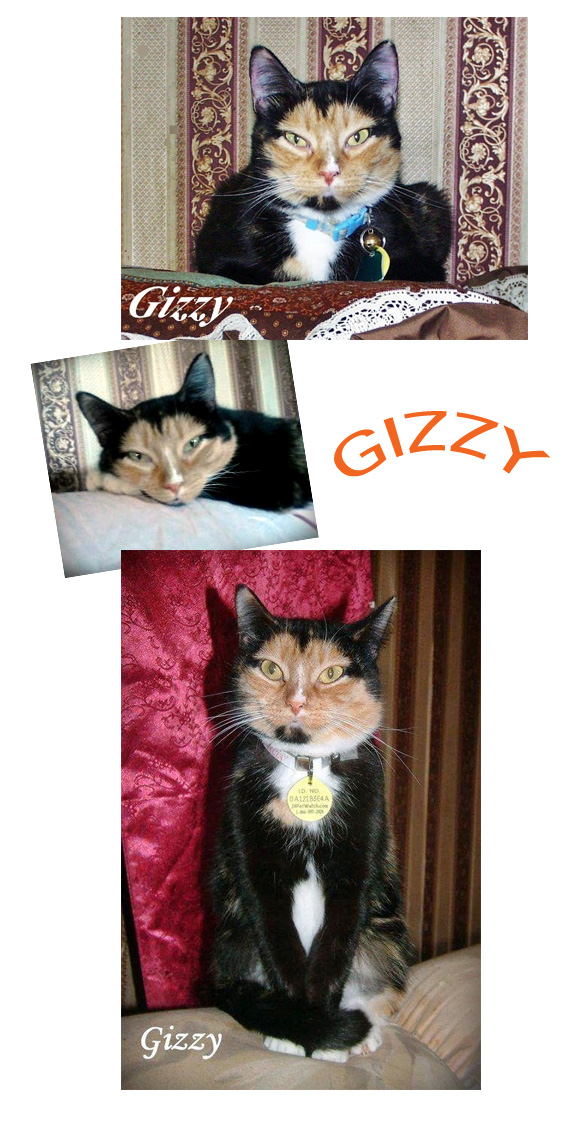 Calico Cat Gizzy - Photos by Elisa Black-Taylor