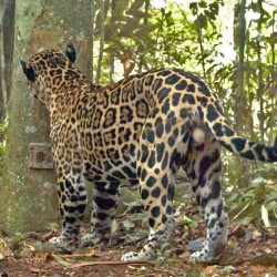Jaguar Photo Showing Coat