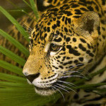 Jaguar cat facts for kids