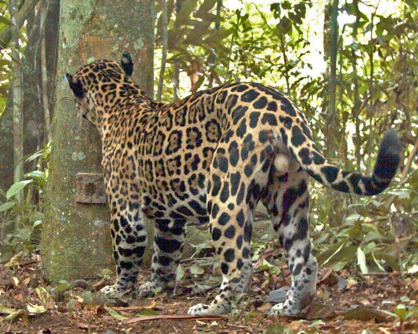 Jaguar Photo Showing Coat