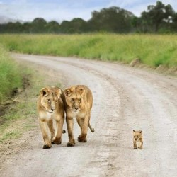 Proud Lion Parents and their Cub