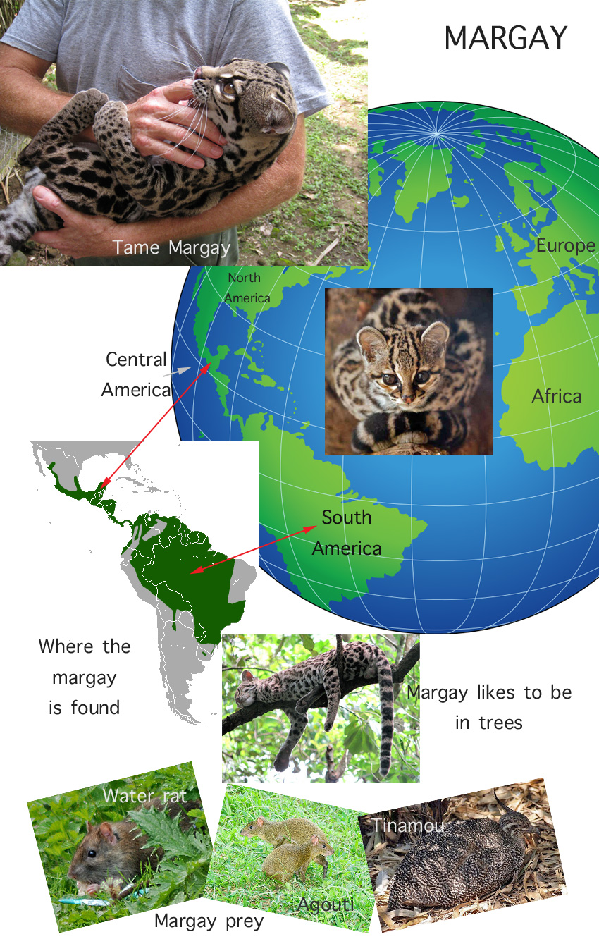 Margay Cat Facts For Kids