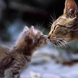 Mother Cat Kisses Her Kitten