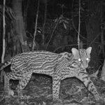 Peruvian Ocelot Caught by Camera Trap