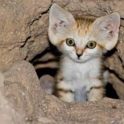 Sand Kitten