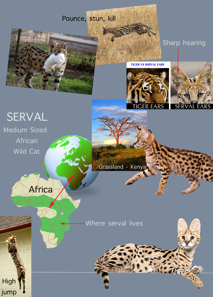 Serval Cat Facts For Kids