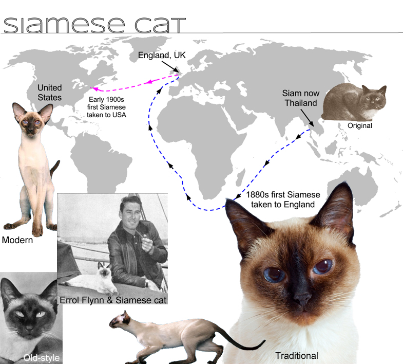 Siamese Cat Facts For Kids