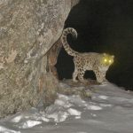 Camera Trap Photos of Wild Cats