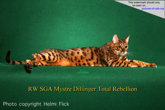 Dillinger Bengal Cat