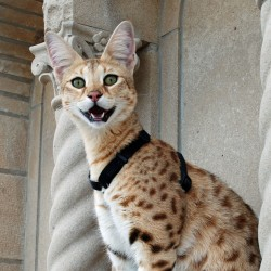 Magic Savannah Cat Super Shot