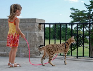F1 Savannah cat Magic