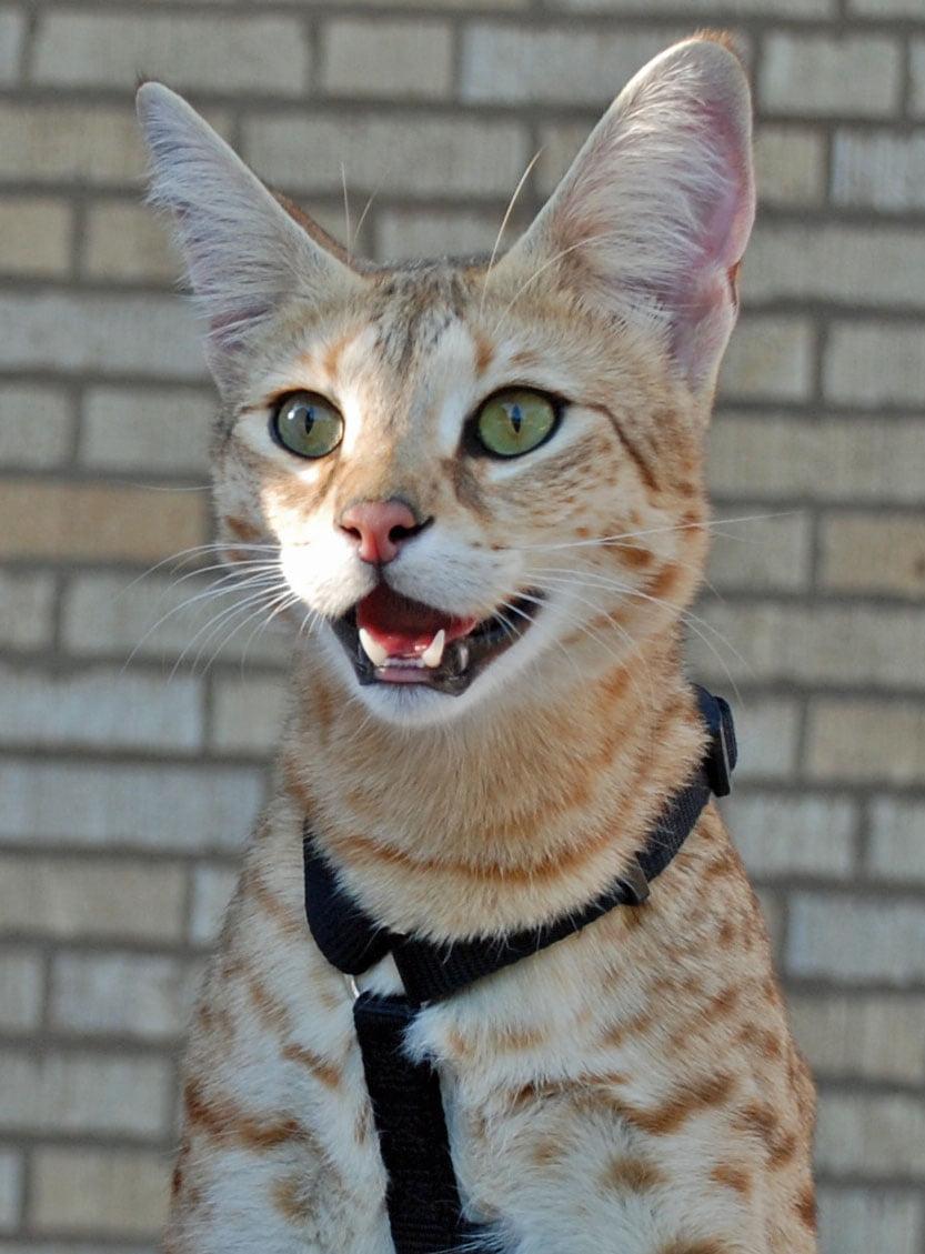 Magic F1 Savannah Cat Head and Shoulders