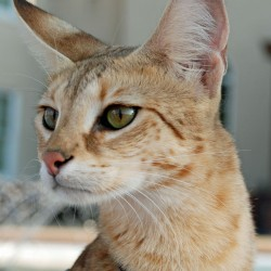 Magic F1 Savannah Cat Head Shot