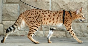 Magic F1 Savannah Cat Walking