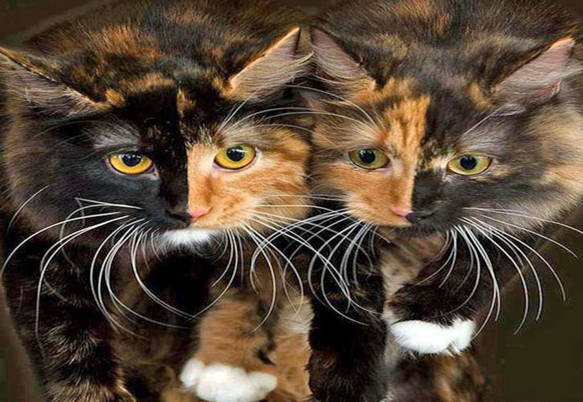 Two Faced Cat Times Two!