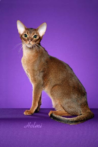 "Abyssinian cat ""Diego"""