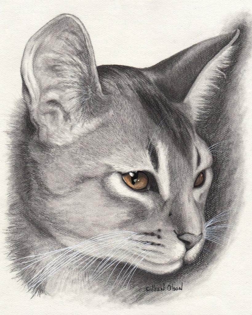 Beautiful Abyssinian Cat Drawing