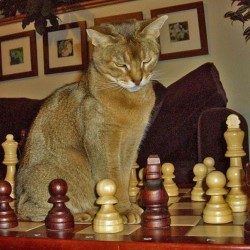 Abyssinian Cat as a Chess Piece