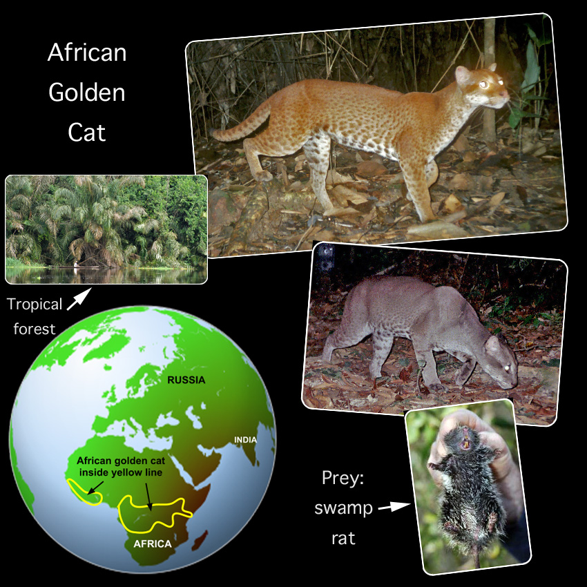 African Golden Cat Facts For kids