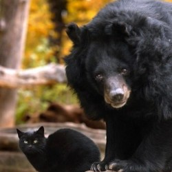 Black Bear and Black Cat