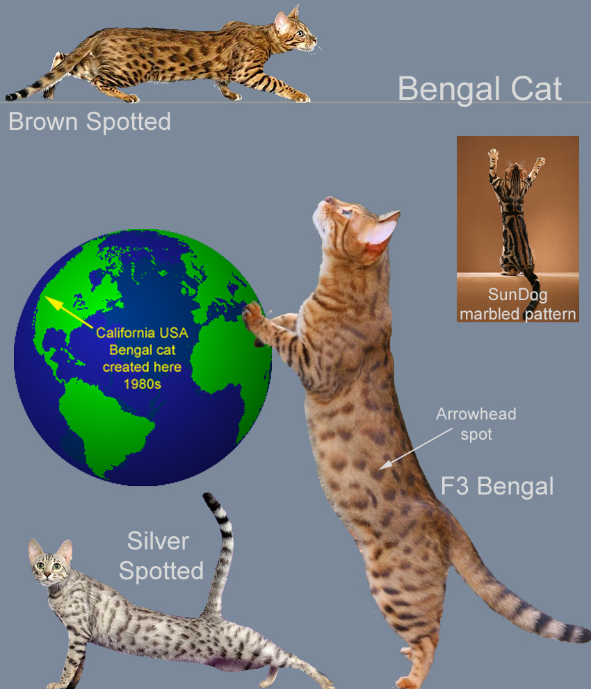 Bengal Cat Facts For Kids