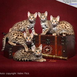 Bengal Cat Group Photograph