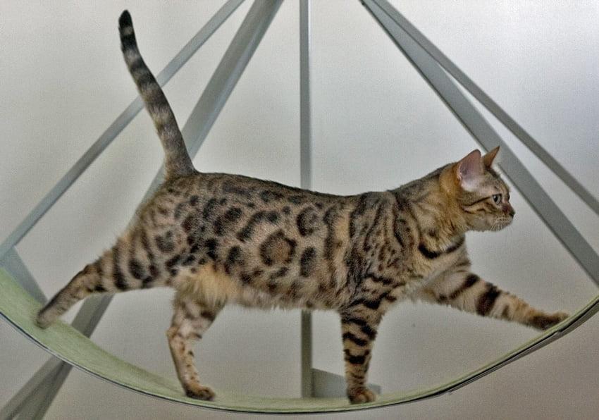 Bengal Cat on Exercise Wheel