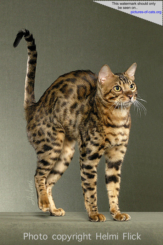 Bengal Cat Looking Like a Paperclip