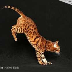 Bengal Cat Jumping