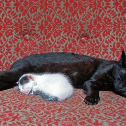 Black Cat Looks After Kitten