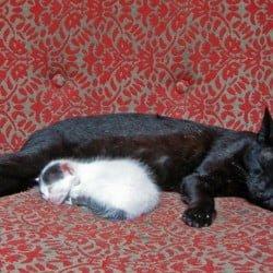 Black Cat Looks After Kitten