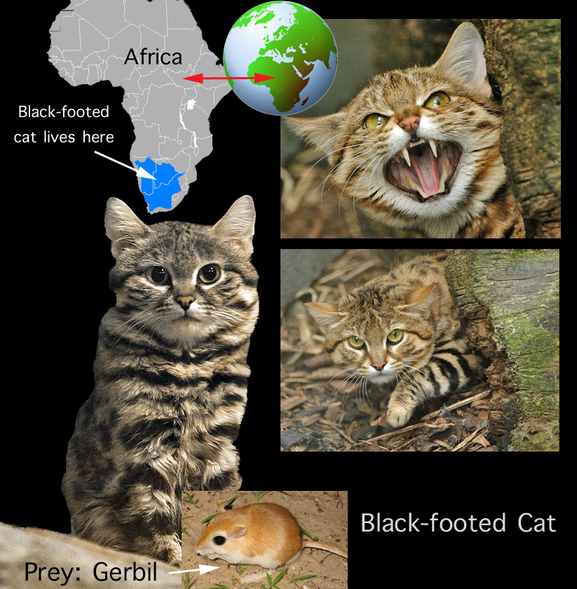 Black-footed cat facts for kids