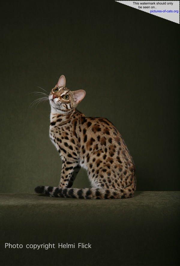 F1 Bengal Cat STRIKER