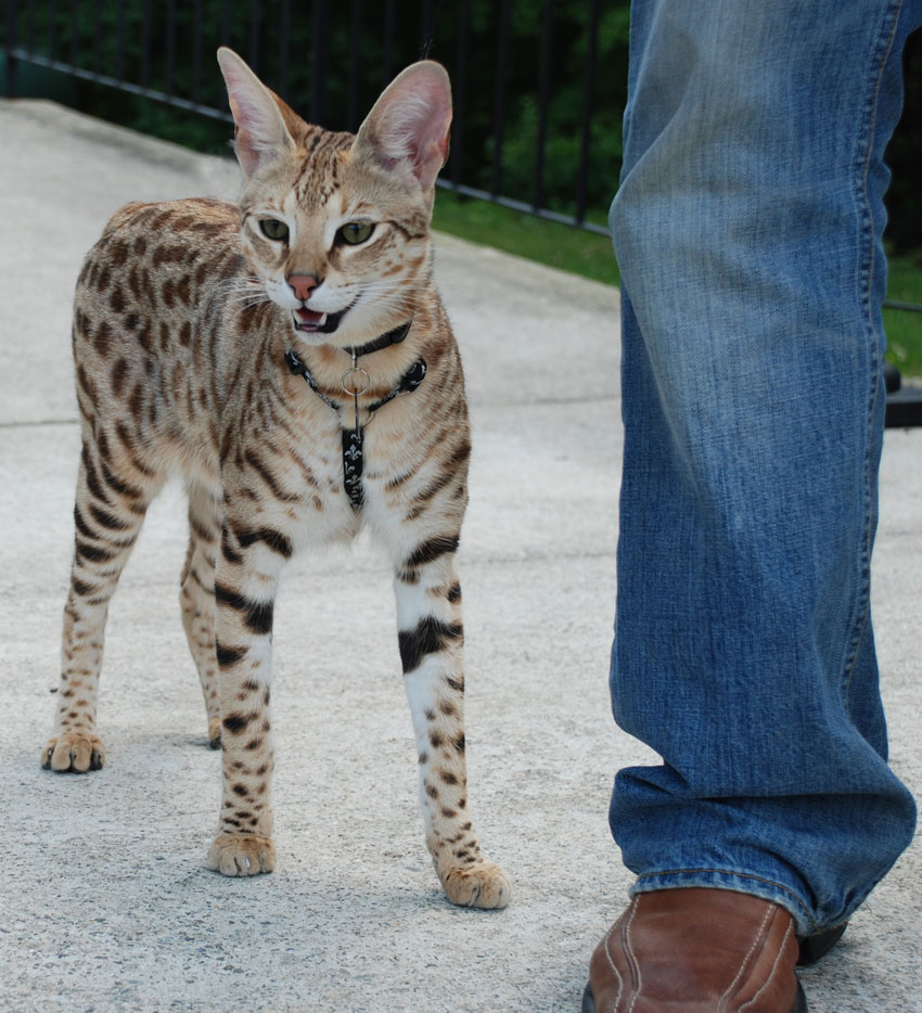 Savannah Cat Picture Gallery | PoC