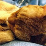 Glowing Coat of Abyssinian Cat
