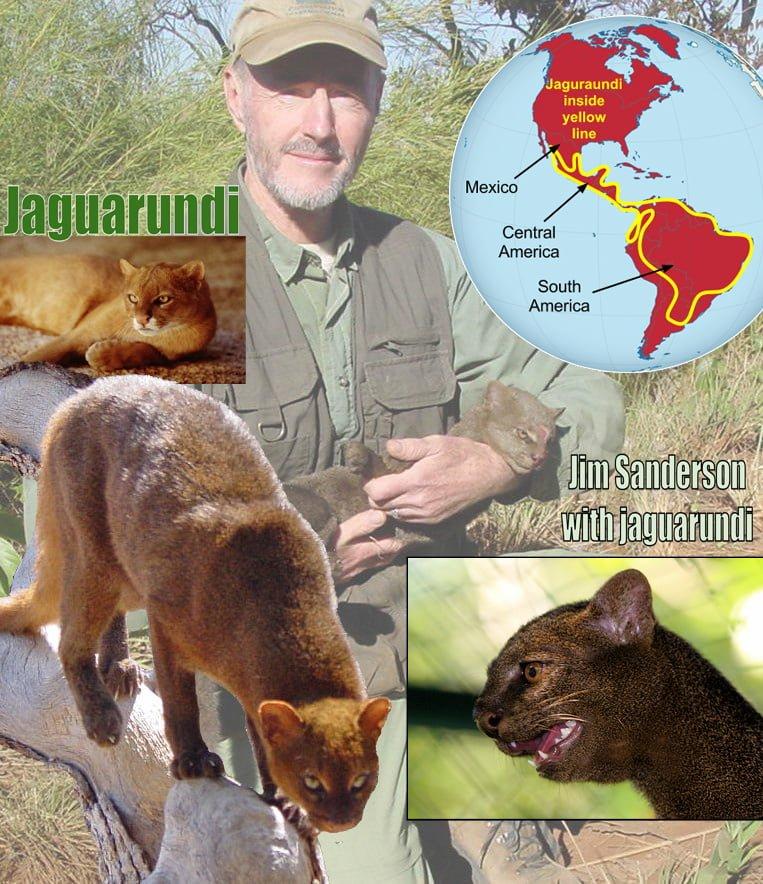 Jaguarundi Facts For Kids