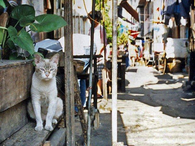 Siamese cat in Siam 2012