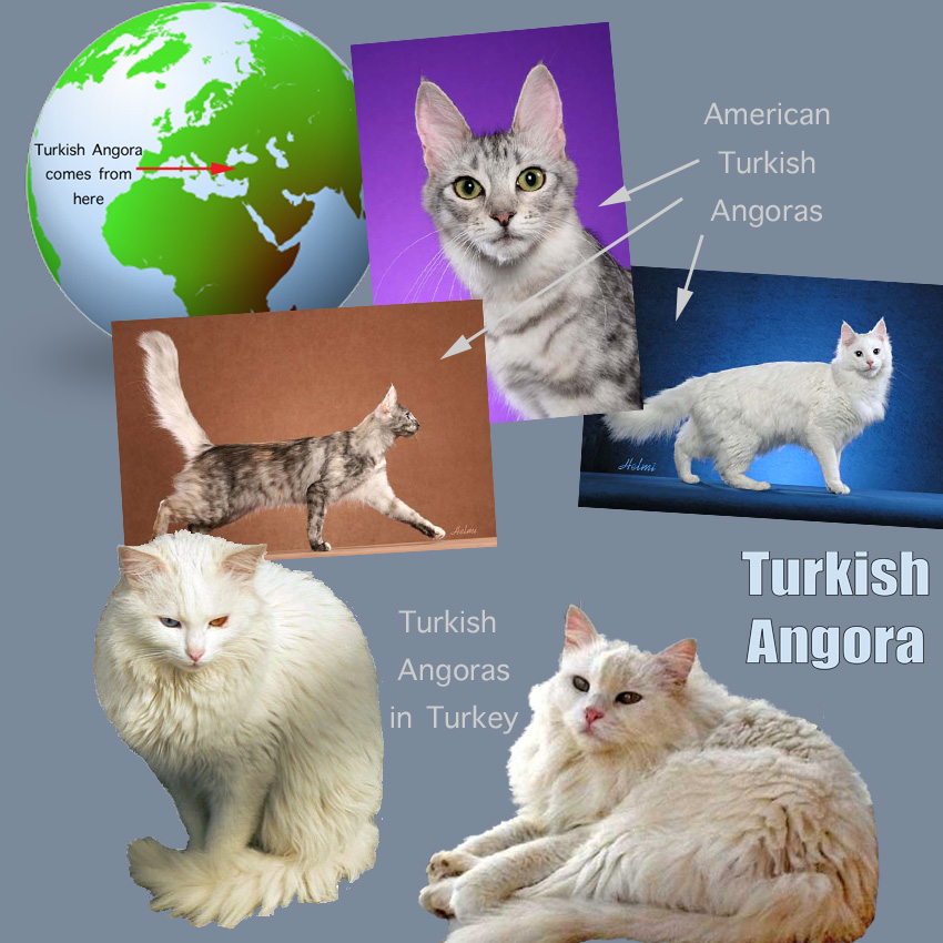 Turkish Angora Facts For Kids