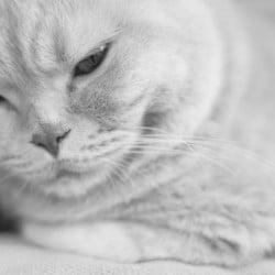 Cream British Shorthair Cat