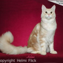 Maine Coon Armstrong