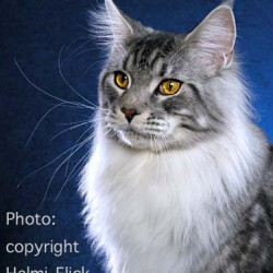 Maine Coon Bos