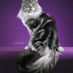 Maine Coon Bullet