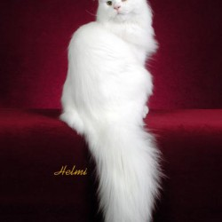 Maine Coon Rory
