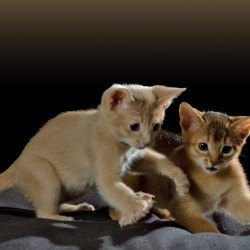 Abyssinian Kittens Pounce Together