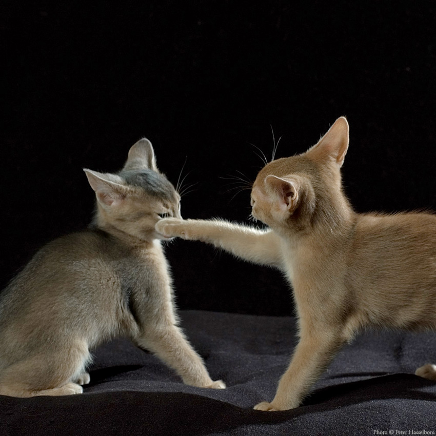 Abyssinian Kitten Smack in Play