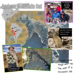 Andean Mountain Cat Facts For Kids