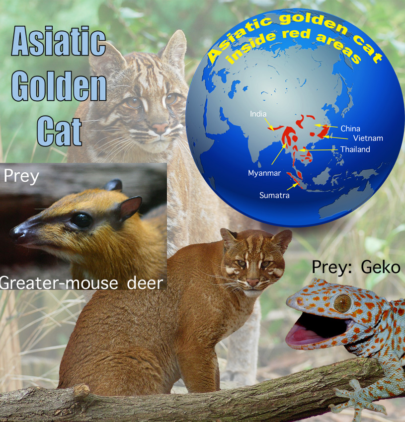 Asiatic Golden Cat For Kids