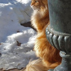 Beautiful Red Tabby and White Maine Coon